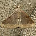 Moth - Rindgea maricopa
