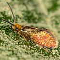 Goldcap Moss-eater Moth - Epimartyria auricrinella