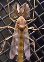 Very Large Midge B - Chironomus - male