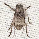 Long-horned Beetle - Ecyrus dasycerus