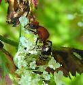 Velvet Ant - Timulla vagans - female