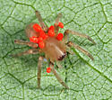 spider covered with mites