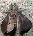 Large Moth - Peridea angulosa