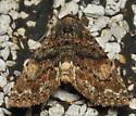 Rust and black moth - Metalectra richardsi