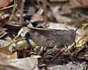 Grasshopper, sp - Arphia behrensi - male