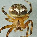 Spider - Neoscona