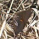 Leafwing Butterfly - Anaea aidea