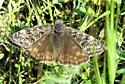 Butterfly - Erynnis propertius - female