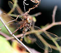 Ocellated Darner with Meadowhawk spp. prey - Boyeria vinosa - male