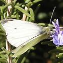 February butterfly - Pieris rapae