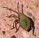 Small Green Insect - Piezogaster