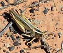 Short-horned Grasshoppers (Acrididae) - Melanoplus packardii - female