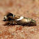 Pretty Micromoth - Diploschizia impigritella