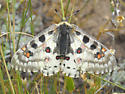 Parnassius smintheus - female
