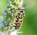 soldier fly - Hedriodiscus binotatus? - female