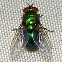 Hairy Maggot Blow Fly - Lucilia - female