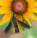 Hummingbird mimic fly - Lepidophora lepidocera