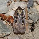 Morrison's Sooty Dart - Pseudohermonassa tenuicula