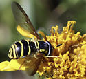 Syrphid Fly - Chrysotoxum