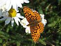 Fritillary - Boloria epithore - female