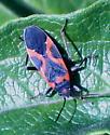 Small Milkweed Bug - Lygaeus kalmii