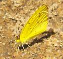 Little Yellow - Pyrisitia lisa