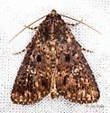 Dusky Groundling Moth - Condica vecors
