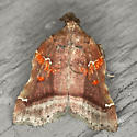 Trumpet Vine Moth - Hodges #5563 - Clydonopteron sacculana