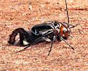 Cerastipsocus trifasciatus