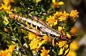 Melanoplus aridus? - Melanoplus aridus - female