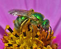 Sweat Bee 4767 & 4769 - Agapostemon