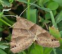Moth ID - Caenurgina