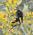 Black Wasp - Sphex pensylvanicus