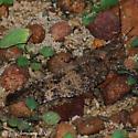 Grasshopper - Spharagemon cristatum