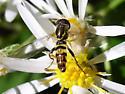 Toxomerus geminatus - male