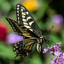 Swallowtail on the Lantana - Papilio zelicaon
