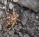 White Mtn Desert Katydid - Aglaothorax ovata - female