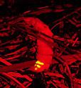 Glowbug - Pleotomus pallens