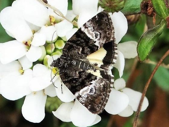 Pretty moth - Annaphila diva