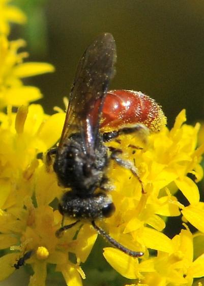 Sweat Bee - Sphecodes - female