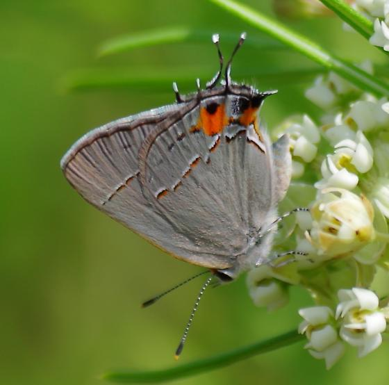 Gray hairstreak on whorled milkweed - Strymon melinus