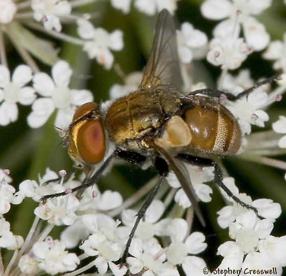 Fly on Queen Anne's Lace - Gymnoclytia - male