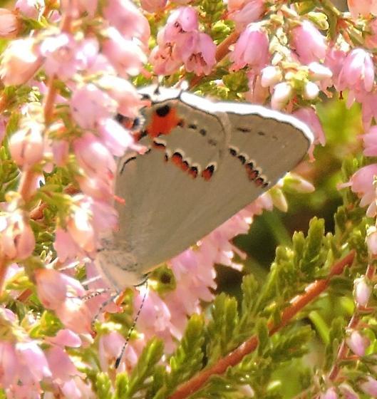 Butterfly in rock garden - Strymon melinus