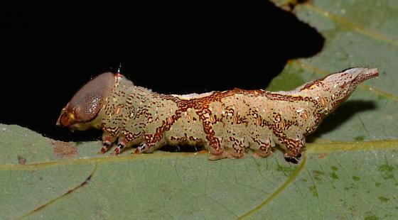 Heterocampa umbrata