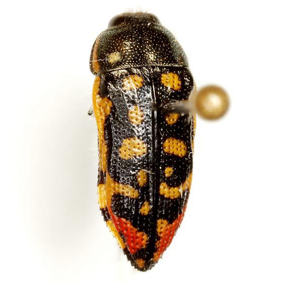 Acmaeodera paradisjuncta Knull - Acmaeodera paradisjuncta