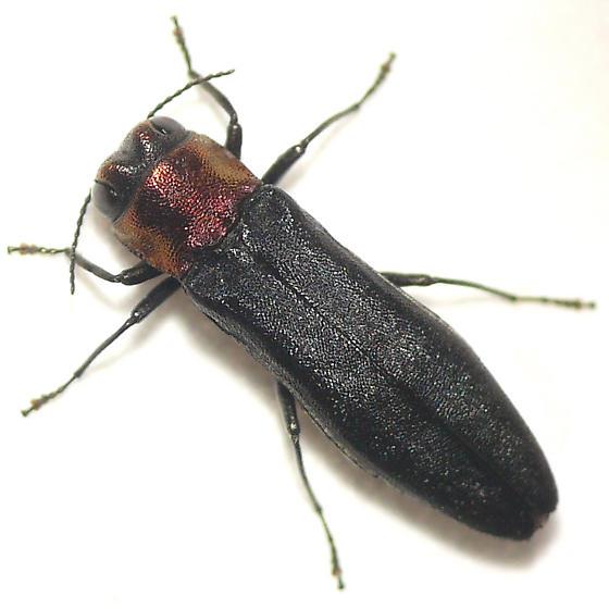 Agriline metallic wood-boring beetle 10.06.17 - Agrilus ruficollis
