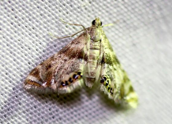 Petrophila sp. - Petrophila fulicalis