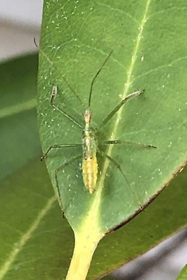 Baby praying mantis? - Zelus luridus