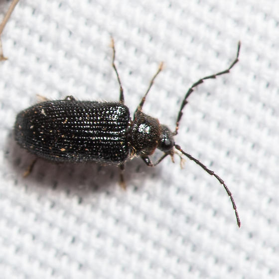 Artematopodidae - Soft-bodied Plant Beetle? Eurypogon niger? - Eurypogon niger