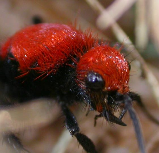 Dasymutilla occidentalis - female